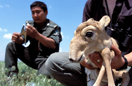 Tagging a young saiga