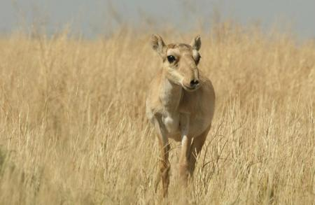 female saiga