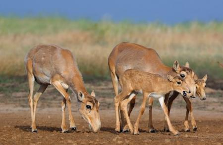 saiga herd grazing