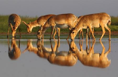 Saiga's drinking water