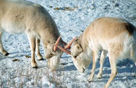 saigas in the snow