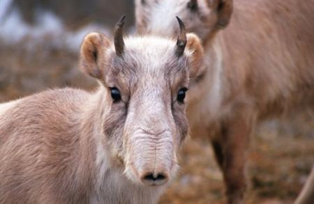 saiga close up