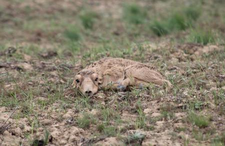 new born saiga