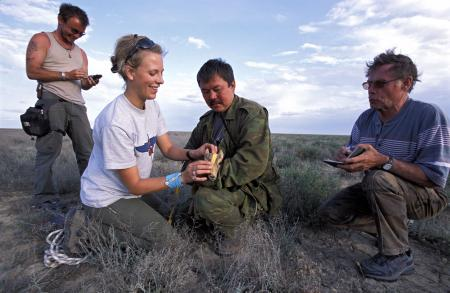 Measuring a Saiga Calf