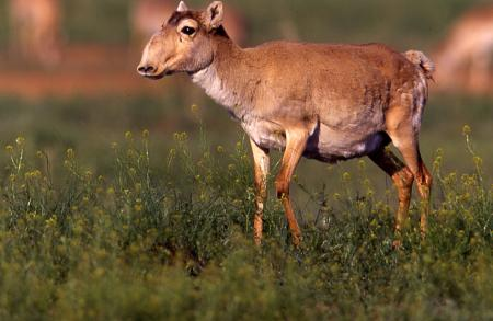 Saiga Female