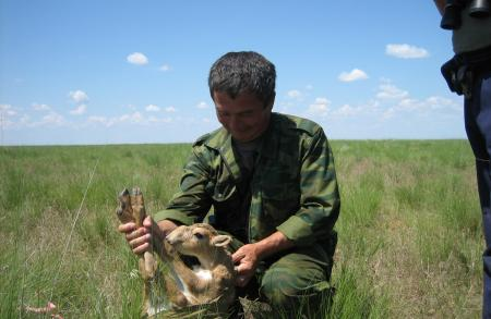 Ranger Weighing a Saiga Calf