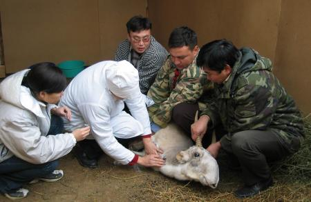 Taking Blood from Male Saiga