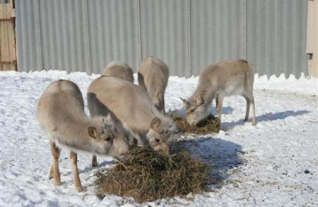 Saigas Feeding at Breeding Centre