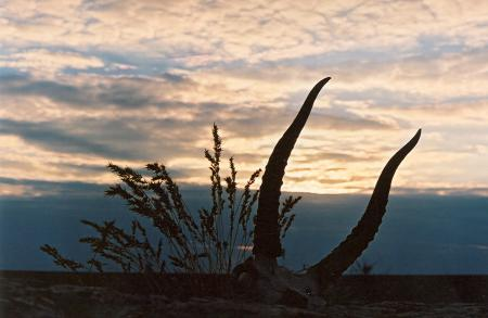Saiga Horns at Sunset
