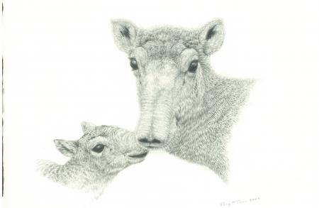 Saiga Mother & Calf Drawing