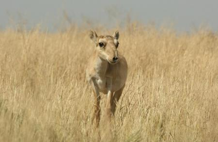 Female Saiga on Dry Steppe