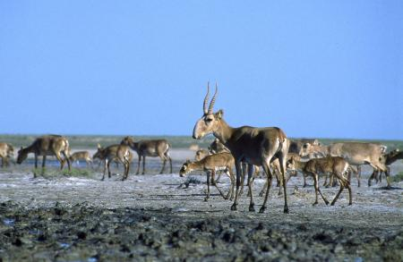 Grazing Saiga Herd
