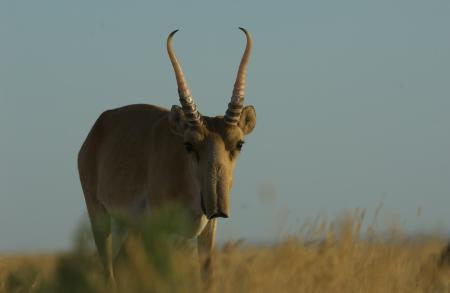 Male Saiga on Steppe