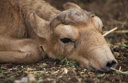 2 Day Old Saiga