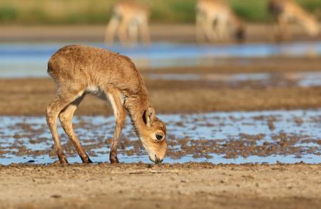 Saiga Calf - Stepnoi 2015