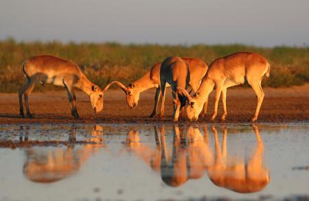 Saiga Drinking - Stepnoi 2015