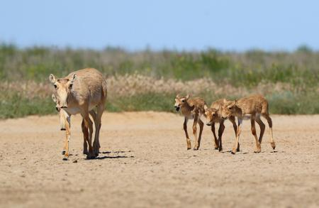 Saiga Calves - Stepnoi 2015