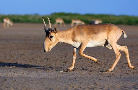 Saiga Male - Stepnoi 2015