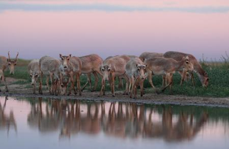 Saiga Herd - Stepnoi 2015