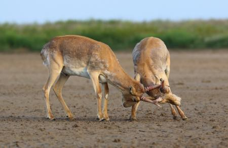 Sparring Saiga - Stepnoi 2015