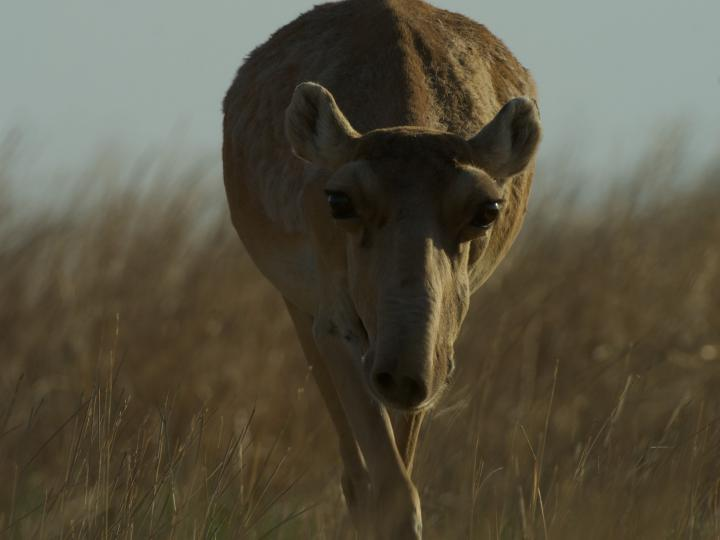 Female Saiga on Steppe