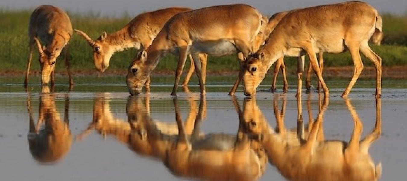 Update from the international team investigating the saiga mass die-off