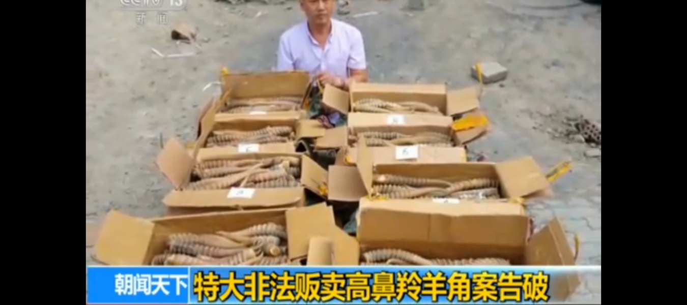 A large consignment of saiga horns and skins is confiscated in Fergana, Uzbekistan