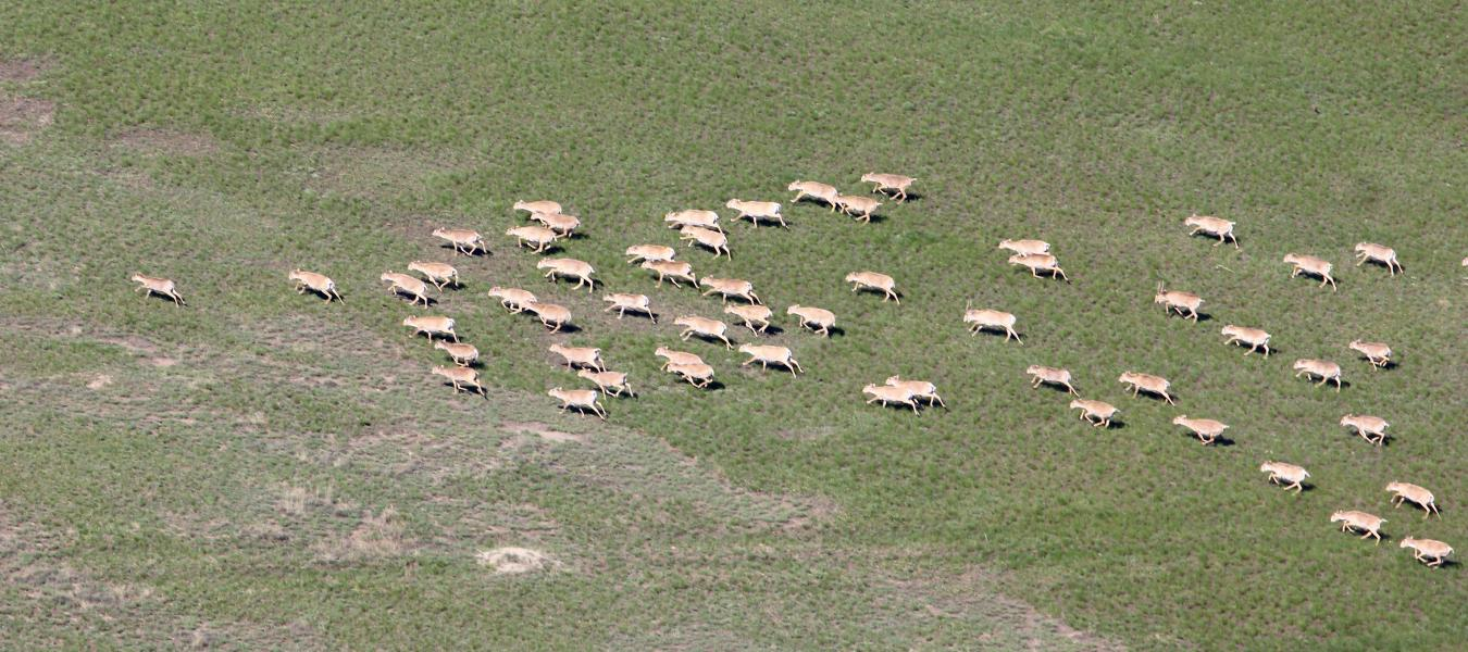 The results of the aerial survey of saiga populations in Kazakhstan in 2016