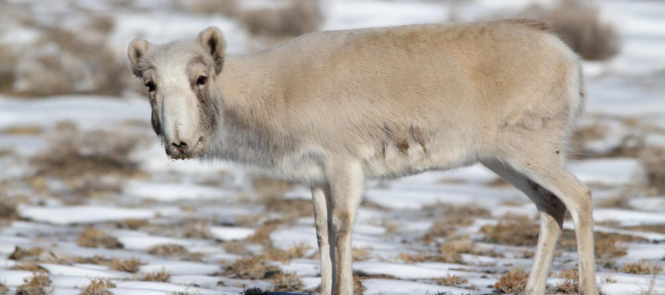 Situation analysis for the Mongolian saiga population, including the mass die-off due to an outbreak of goat plague