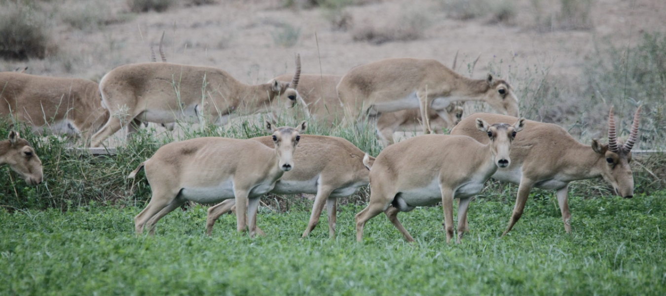 Historical range, extirpation and prospects for reintroduction of Saiga in China
