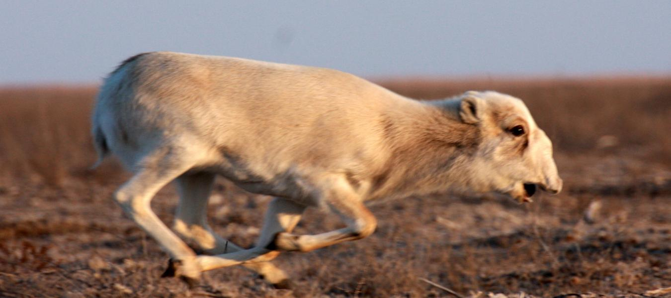 Conserving a small group of saigas within the Volga-Ural population in Atyrau province, Kazakhstan